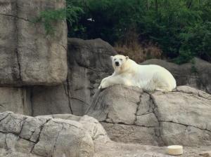 Zoo polar bear